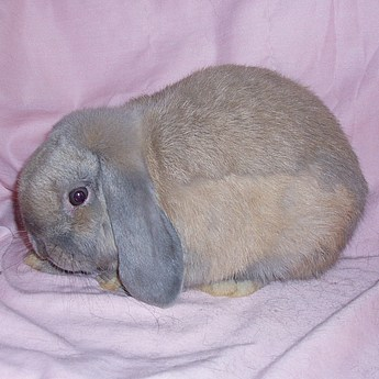 Holland Lop Bucks
