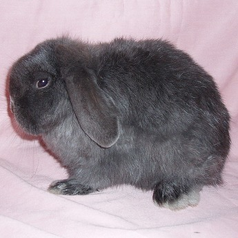 Holland Lop Does